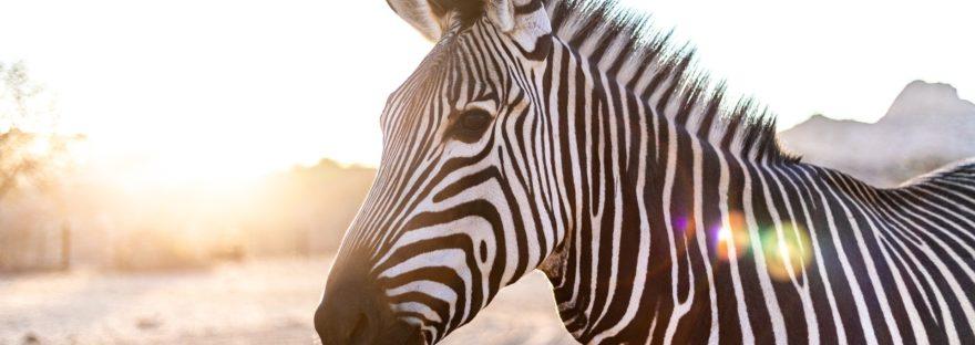 les zebrures : un avantage contre les insectes ?